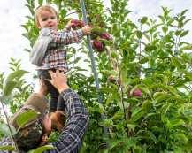apples web-6398