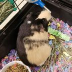 Hazel is a 9-month-old female guinea pig