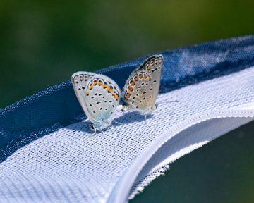 karner blue-4734