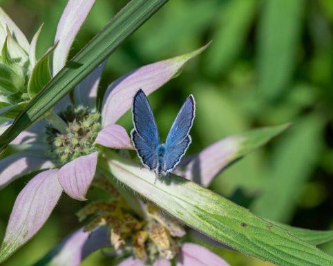 karner blue-4964