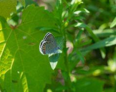 karner blue-5108