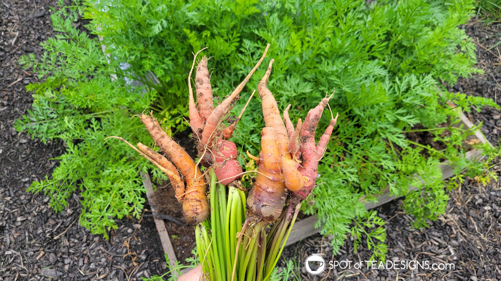 Backyard vegetable garden - first year lessons learned - carrots | spotofteadesigns.com