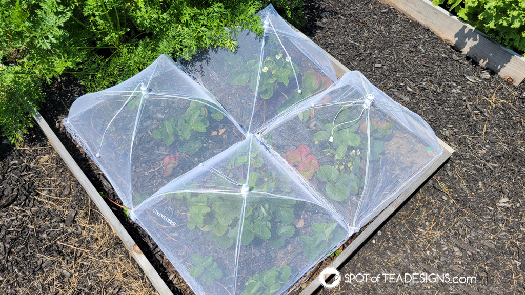 Backyard vegetable garden - first year lessons learned - strawberries | spotofteadesigns.com