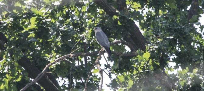 O nouă pasăre cuibăritoare în Moldova – Uliul cu picioare scurte (Accipiter brevipes)