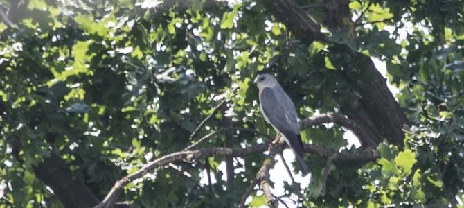 O nouă pasăre cuibăritoare în Republica Moldova: uliul cu picioare scurte