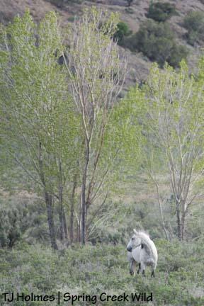 Grey in the cottonwoods