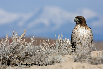 Red-tail with La Sals