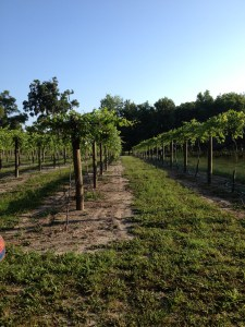 Southern Comfort Vines