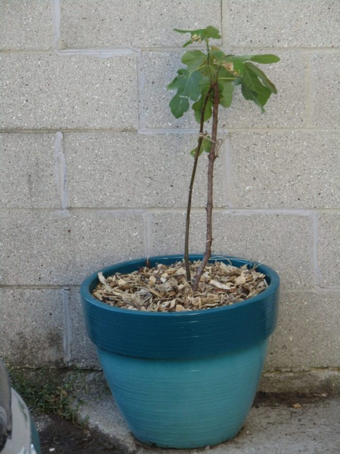 A potted fig tree.