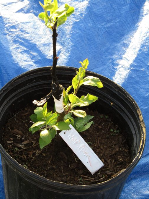 A successfully grafted apple tree.