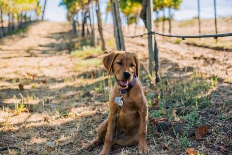 Vineyard 7&8 Winery Dog
