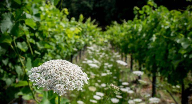 School House Vineyards Wildflowers in the Vineyard 2