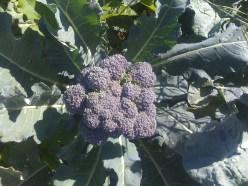 Fall broccoli
