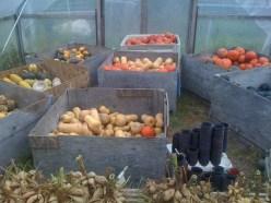 Curing winter squash