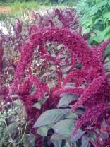 Opopeo amaranth