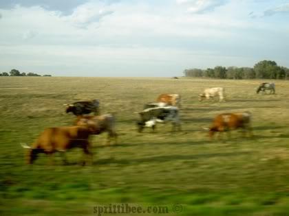 spring-cows