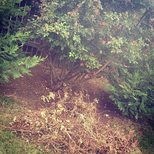 Raking under the rose bush. #smartyard #spon