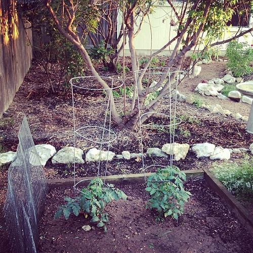 Tomato plants growing...