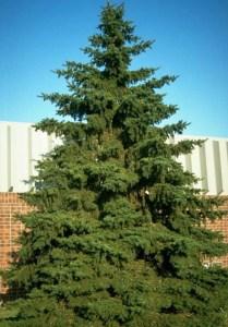 black hill spruce