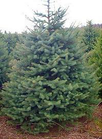 blue_spruce