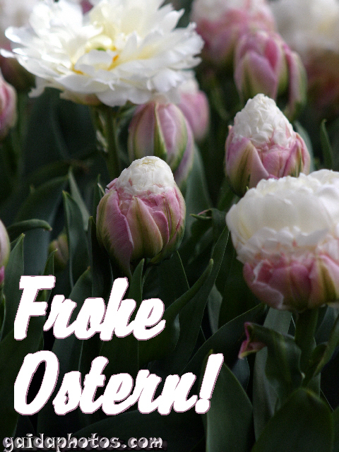 Osterkarte Tulpe weiß