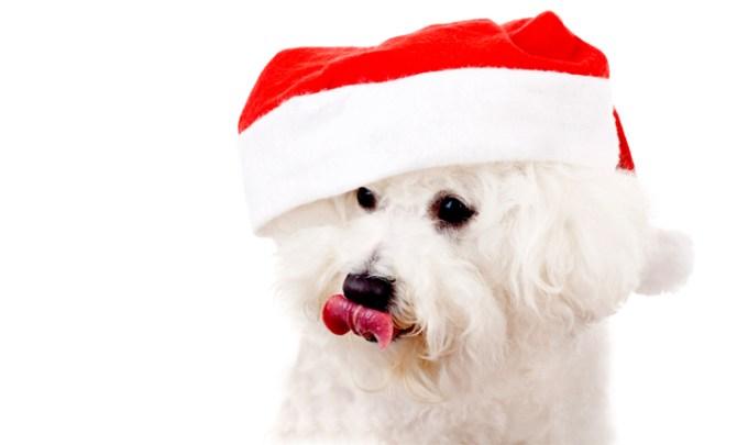 dog-bichon-lick-problem-vet-advice-pet-canine-spry