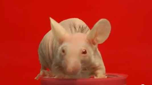 bald-mouse-with-hair