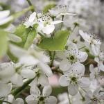 mercy-spring-flower2-web