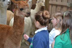 2nd Grade students from St. Pat's meet the alpacas on their tour of the grounds.