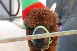 Christmas-Fun-at-the-Woods-_-Alpaca-2019-002-WEB