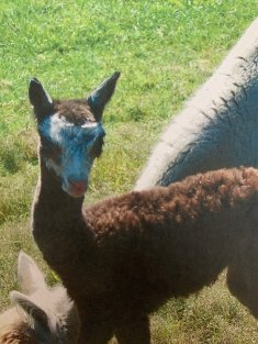 This isn't Tony but rather his mother Dora when she was just a cria. Notice the strong resemblance?