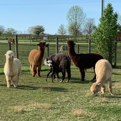 "The other alpacas act like ""aunties"" when a new cria or baby alpaca is born."