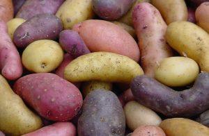 Bildquelle: mit freundlicher Genehmigung Ellenberg's Kartoffelvielfalt GbR