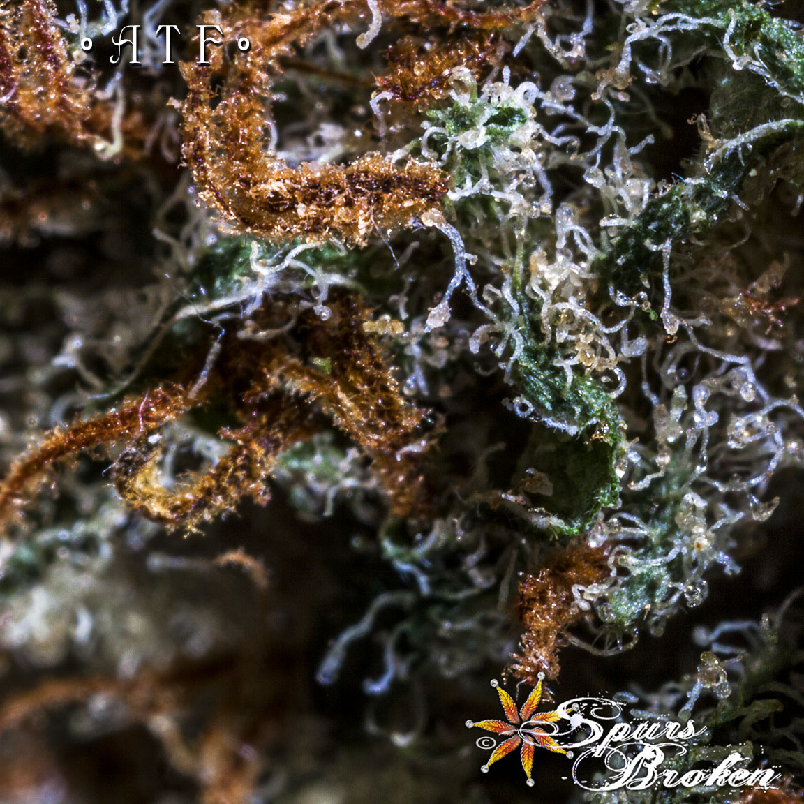 ATF (Alaska Thunder Fuck) - Cannabis Macro Photography by Spurs Broken (Robert R. Sanders)