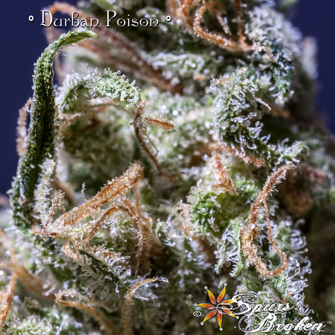 Durban Poison - Cannabis Macro Photography by Spurs Broken (Robert R. Sanders)