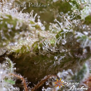 Fruity Pebbles -Cannabis Macro Photography by Spurs Broken (Robert R. Sanders)