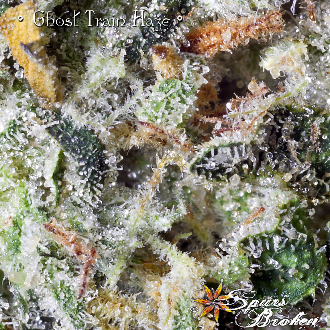 Ghost Train Haze -Cannabis Macro Photography by Spurs Broken (Robert R. Sanders)