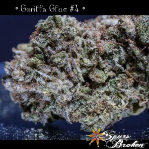 Gorilla Glue -Cannabis Macro Photography by Spurs Broken (Robert R. Sanders)