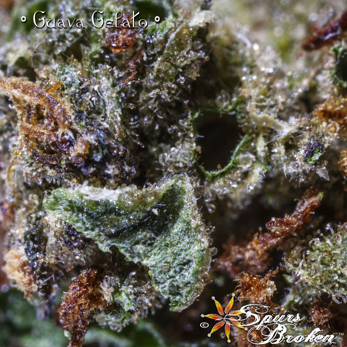 Guava Gelato -Cannabis Macro Photography by Spurs Broken (Robert R. Sanders)