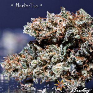 Harle Tsu -Cannabis Macro Photography by Spurs Broken (Robert R. Sanders)