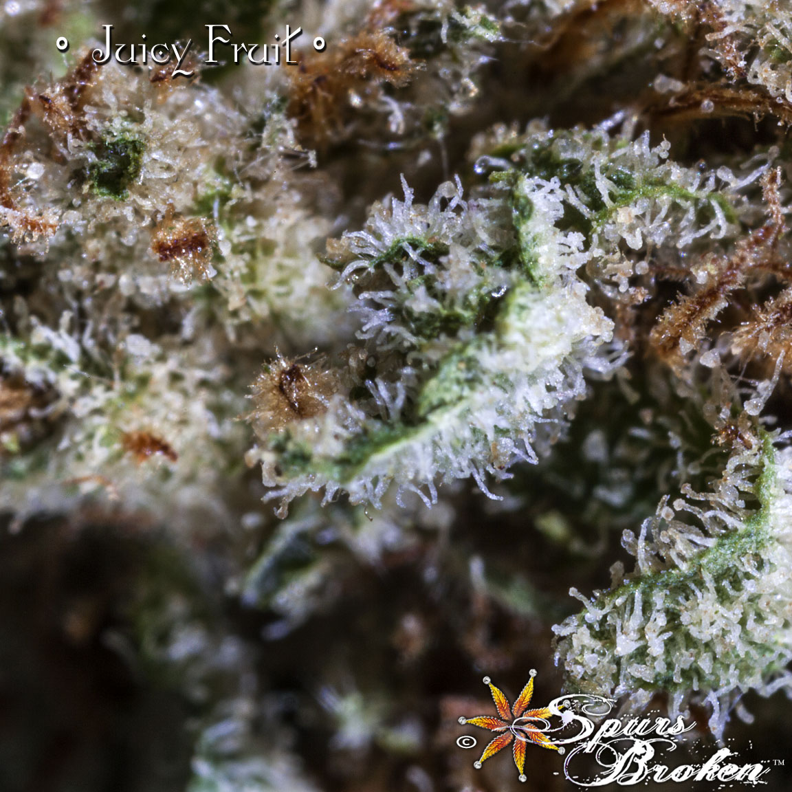 Juicy Fruit - Cannabis Macro Photography by Spurs Broken (Robert R. Sanders)