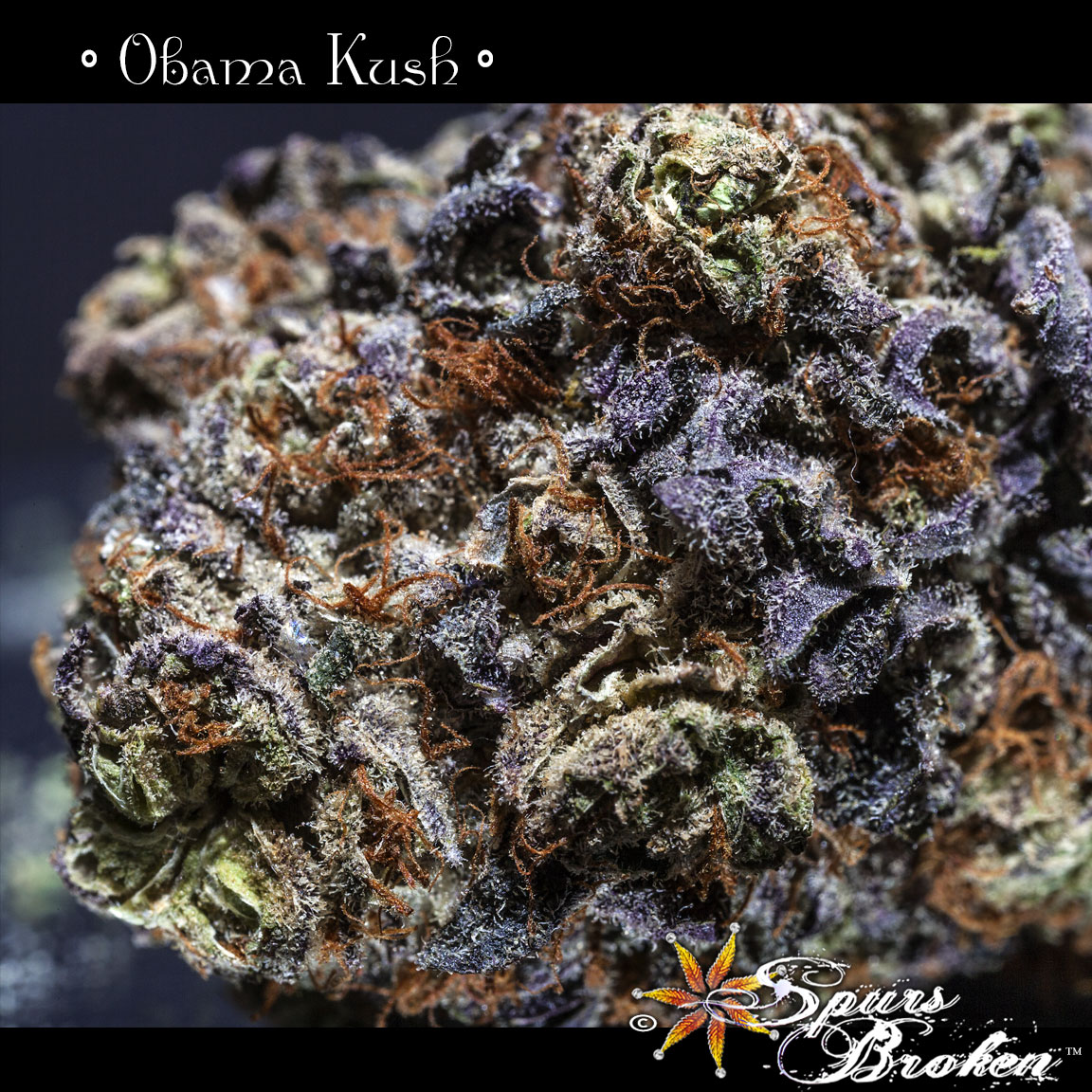 Obama Kush- Cannabis Macro Photography by Spurs Broken (Robert R. Sanders)
