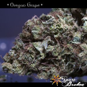 Oregon Grape - Cannabis Macro Photography by Spurs Broken (Robert R. Sanders)