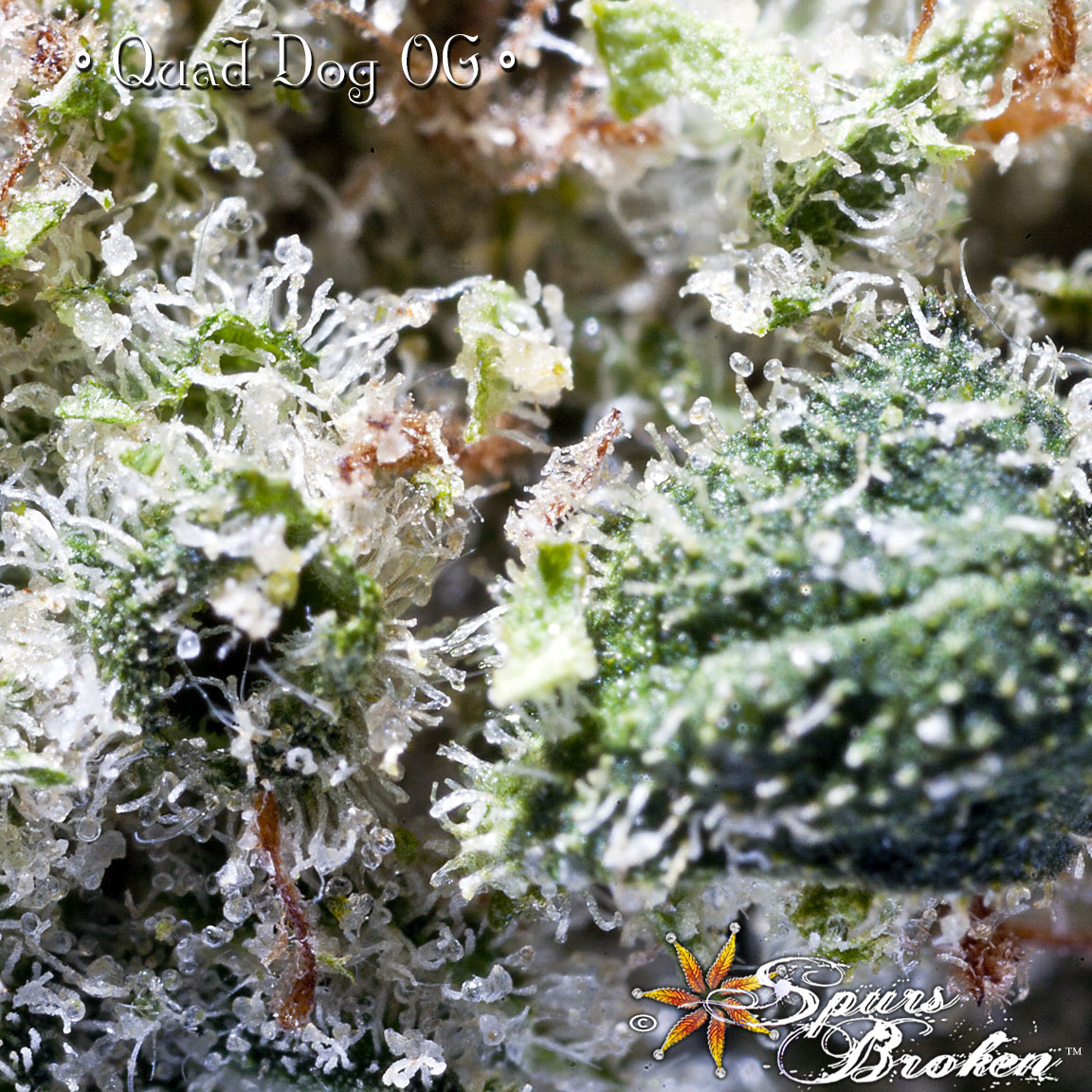 Quad Dog- Cannabis Macro Photography by Spurs Broken (Robert R. Sanders)