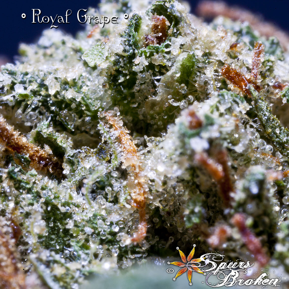 Royal Grape - Cannabis Macro Photography by Spurs Broken (Robert R. Sanders)