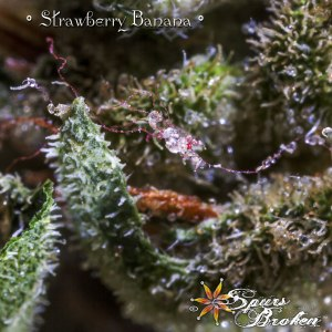 Strawberry Banana - Cannabis Macro Photography by Spurs Broken (Robert R. Sanders)