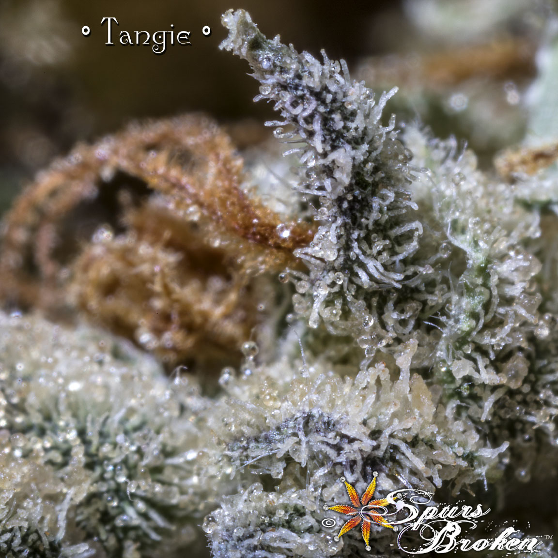 Tangie - Cannabis Macro Photography by Spurs Broken (Robert R. Sanders