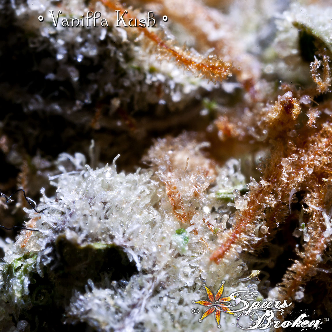Vanilla Kush - Cannabis Macro Photography by Spurs Broken (Robert R. Sanders)