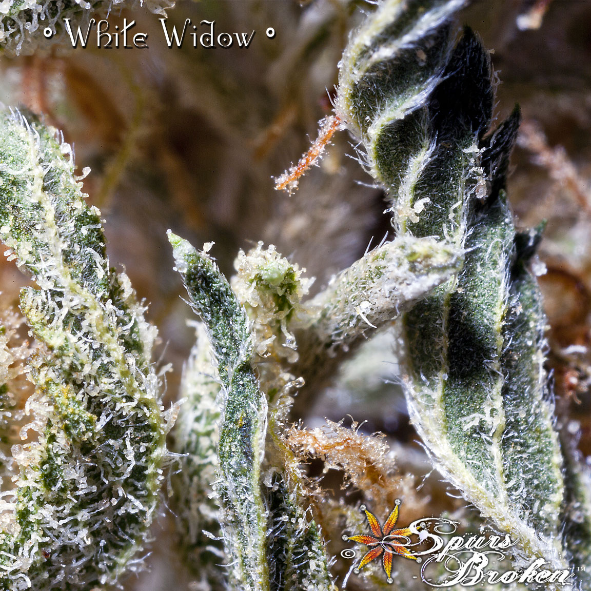 White Widow - Cannabis Macro Photography by Spurs Broken (Robert R. Sanders)