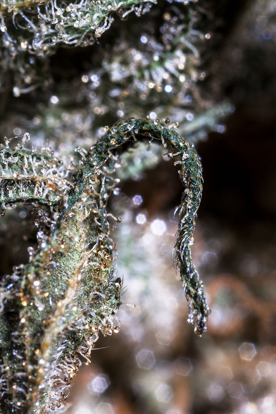 Shishkaberry macro-photography, Beauty of Cannabis by Spurs Broken